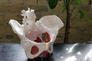 Pelvis on a table at Pro Function Health Care Team
